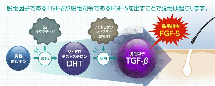 脱毛因子『TGF-β』による抜け毛の仕組み。脱毛因子であるTGF-βが脱毛指令を出す「FGF-5を生成することで脱毛が起こります。男性ホルモンのテストステロンが5αリダクターゼに反応することで、DHT(ジヒドロテストステロン)生成されます。そしてDHTがアンドロゲンレセプター(受容体)に反応することで脱毛因子TGF-βが生まれて、FGF-5に指令を出すことで抜け毛が進行します。
