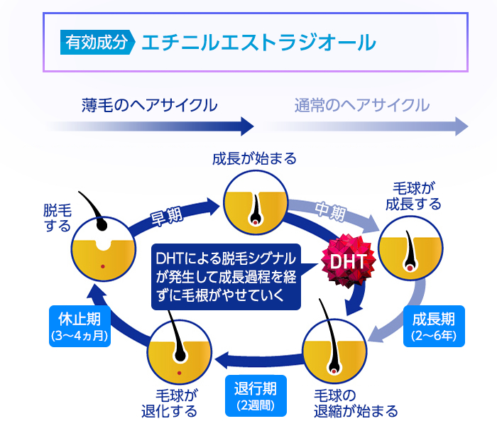 エチニルエストラジオールの作用とAGAのプロセス
