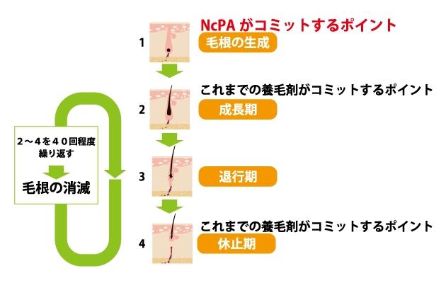 特許成分NcPAがコミットするポイントはヘアサイクルの生成期