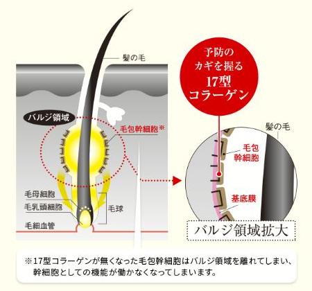 毛包幹細胞の働き