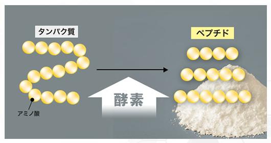 タンパク質とペプチドの違い