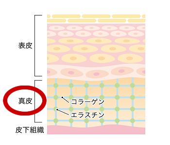 人間の皮膚構造図。表皮・真皮・皮下組織・コラーゲン・エラスチンを解説しています。